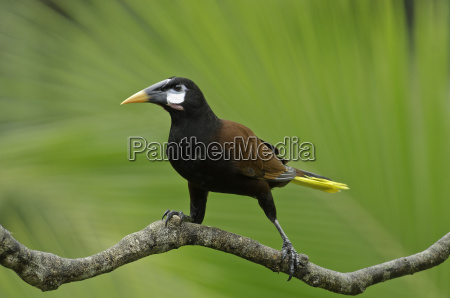 bird animals birds costarica lagunadelagarto montezumastirnvogel