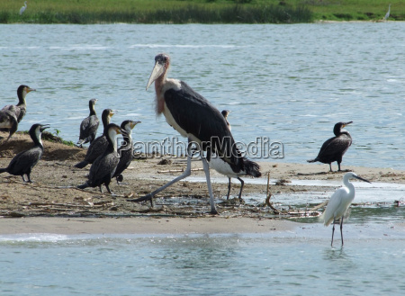 marabou and other birds in africa
