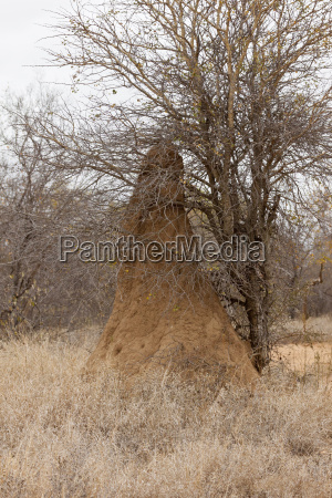 termite mound in greater kruger national