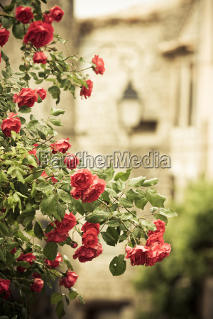 rank rose in medieval alley in