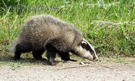 badgermeles melespredator