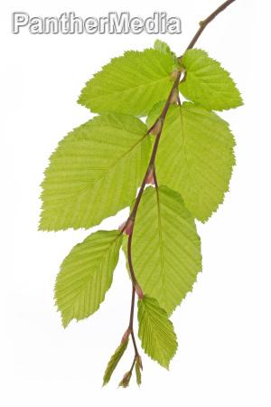 beech leaves fagus in spring