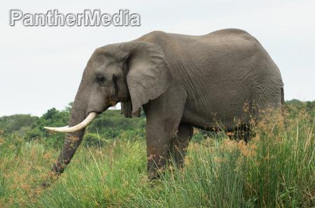 elephant in africa sideways