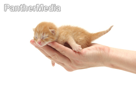 ginger kitten in hand isolated on