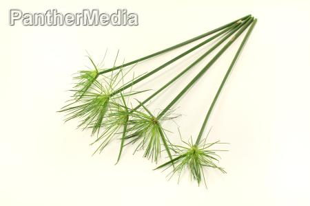 fresh papyrus plants