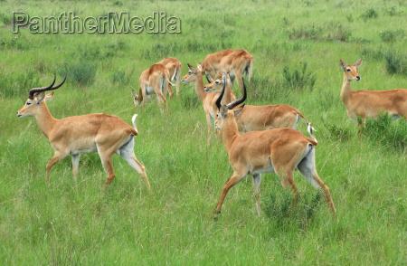 uganda kobs in grassy vegetation