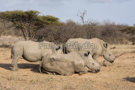 white rhinoceros ceratotherium simum at the