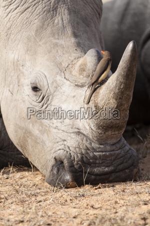 white rhinoceros ceratotherium simum in portrait
