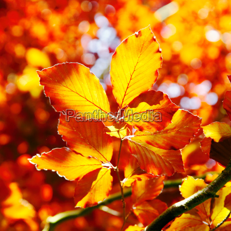 vivid orange autumn leaves