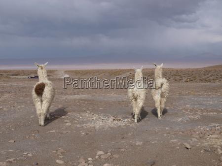 llamas from behind