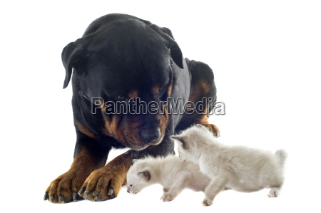 rottweiler and siamese kitten