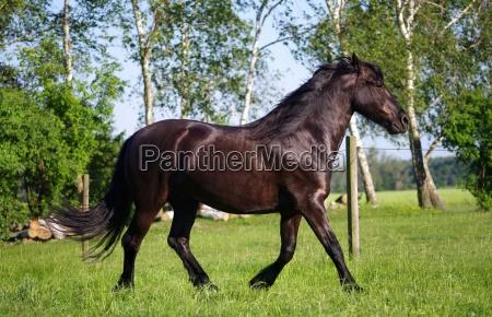 horses friesian in nature