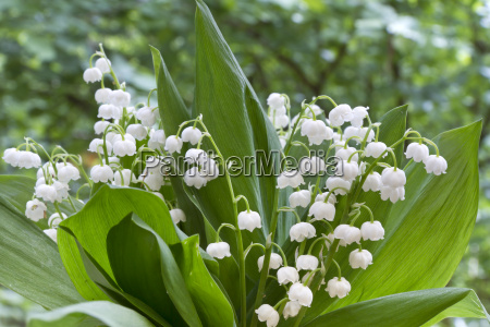 lilies of the valley convallaria majalis