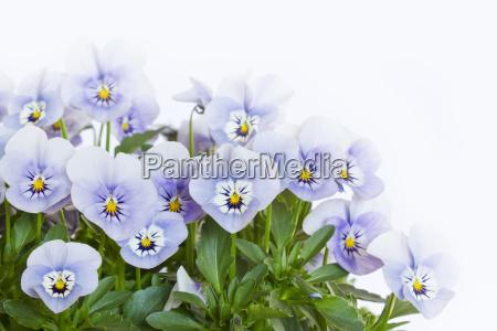 several horn violet viola cornuta on