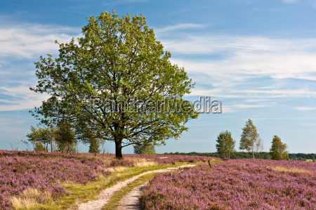 lueneburg heath path through blooming heather