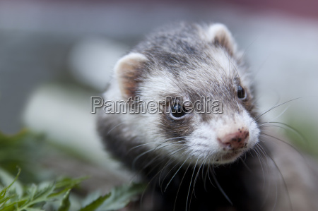 ferret face with dirty nose looking