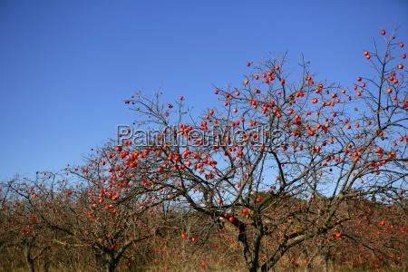 persimon tree field with vivid fruis