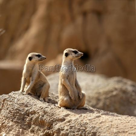 two suricata standing alert