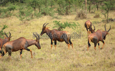 common tsessebe in uganda