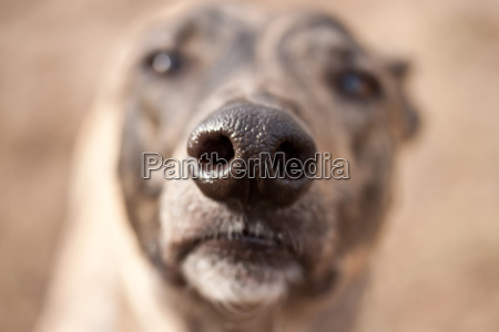 dogs nostril