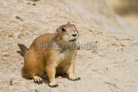 prairie, dog, on, guard - 7077211