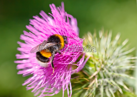 bumble bee collecting pollen on pink
