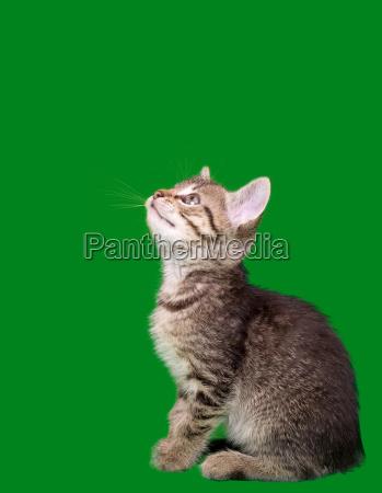 domestic tabby cat cutout