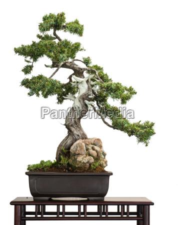 hedgehog juniper juniperus rigidus as bonsai