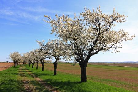 tree trees spring cherry blossom cherry