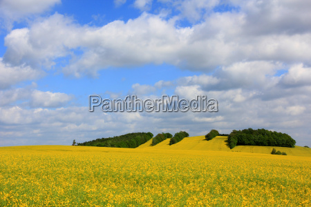coleseed rape field field blossoms spring