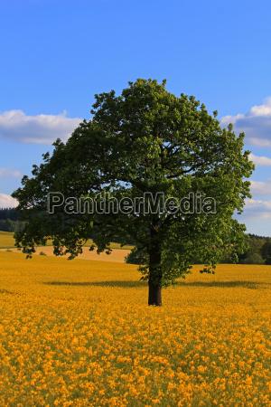 tree coleseed rape field field spring