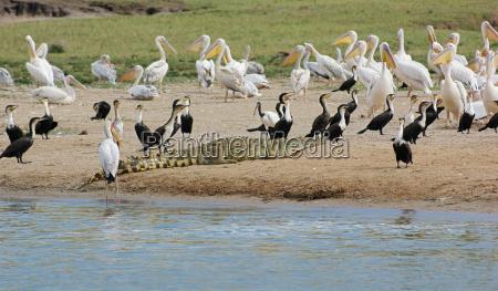 birds and crocodile waterside in uganda