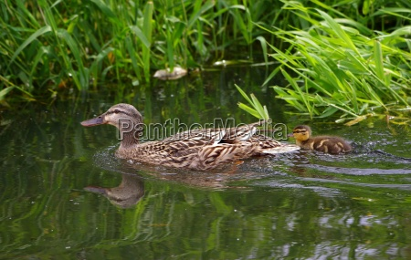 duck mother with chicks