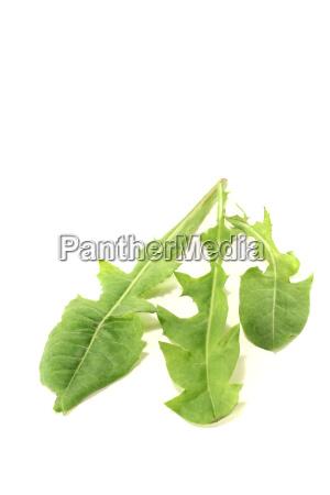 fresh green dandelion