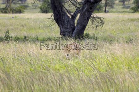 lioness safari in the serengeti