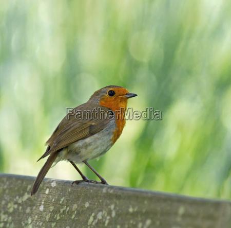 european robin perched