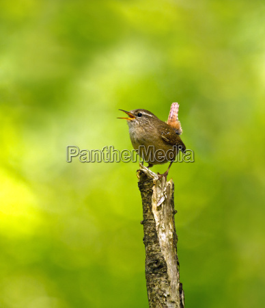 winter wren singing