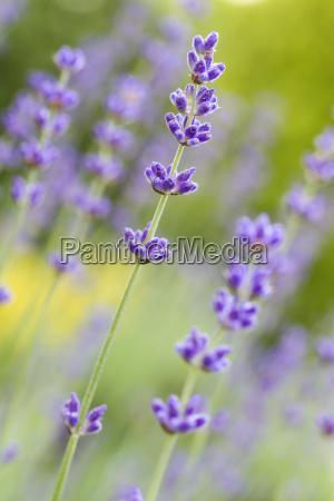 lavender in the garden shallow dof