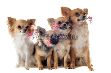 four chihuahuas and flowers