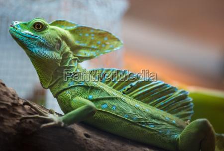entire iguana in terrarium