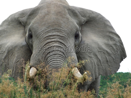 elephant in high grassy vegetation