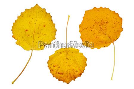 yellow leaves of aspen