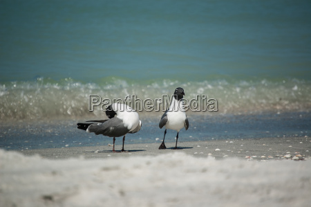 laughing gulls on a florida beach