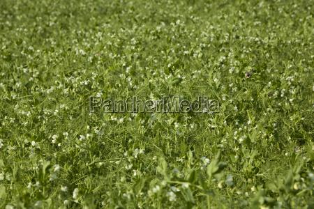 planted peas