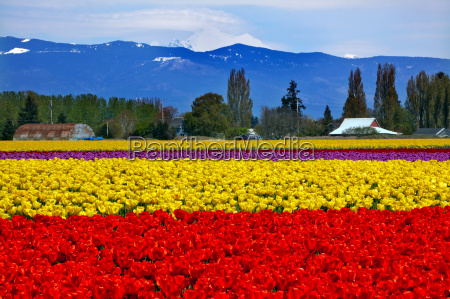 red yellow tulips flowers mt baker