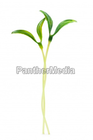 green seedlings isolated on the white