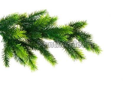close up of fir tree branch