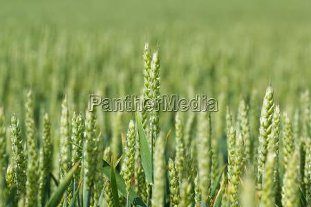 detail of organic green grains