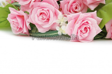 roses on the white