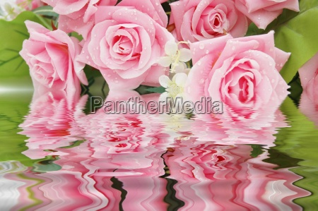 pink roses and their reflection in